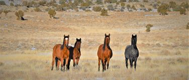 Nevada Wild Horses Photo stock