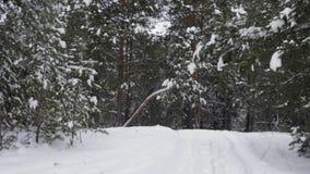 Nevadas del invierno de la opinión del punto en bosque conífero en el tiempo escarchado Naturaleza del invierno almacen de video