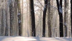 Nevadas en el invierno en el bosque, mañana de la Navidad nevosa suave con nieve que cae almacen de video