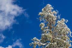 Nevadas fortes em partes superiores da árvore com fundo do céu azul Fotos de Stock Royalty Free