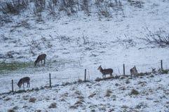 Nevadas fuertes en las montañas escocesas y mucha del Reino Unido Fotos de archivo