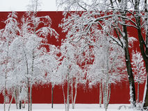 Nevado, abedules blancos delante de una pared roja, Betula Imagen de archivo libre de regalías