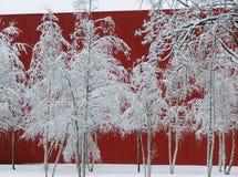 Nevado, abedules blancos delante de una pared roja, Betula Imágenes de archivo libres de regalías