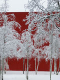Nevado, abedules blancos delante de una pared roja, Betula Fotos de archivo