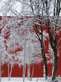 Nevado, abedules blancos delante de una pared roja, Betula Fotografía de archivo
