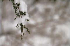 Nevado Cedar Branch Imagenes de archivo