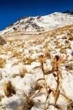 Nevado de toluca Xinantecatl torkad blomma Arkivbilder