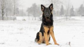 Nevado gelado do inverno longo do pastor alemão do cabelo Imagens de Stock Royalty Free