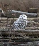 Nevado Owl Female, scandiacus del bubón Foto de archivo libre de regalías