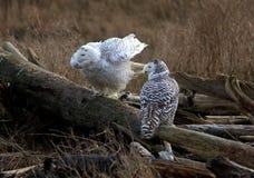 Nevado Owl Pair, scandiacus del bubón Fotografía de archivo libre de regalías