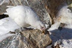 Nevado Sheathbill que se coloca en una roca Imagen de archivo libre de regalías