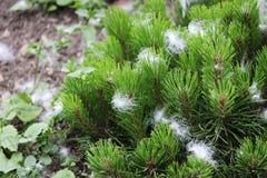 Neve artificiale sotto forma di lanugine, spruzzata dalla pistola durante la fucilazione del film ed attaccata in un giovane pino fotografia stock