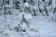 Neve attillata di inverno degli alberi forestali Fotografie Stock