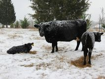 Neve bianca, mucche nere fotografie stock