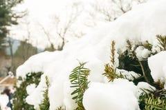 Neve bianca sul pino verde nell'inverno Immagini Stock