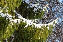Neve branca fresca em uma árvore de larício Fotos de Stock Royalty Free