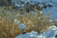Neve Bush Fotografia Stock Libera da Diritti