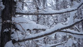 Neve che cade ai rami degli abeti stock footage