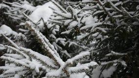 Neve che cade ai rami di albero dell'abete nella neve stock footage