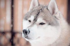 Neve cinzenta e branca do cão do cão de puxar trenós Siberian no retrato querendo saber do nariz no prado da neve Imagem de Stock Royalty Free