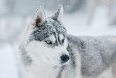 Neve cinzenta e branca do cão do cão de puxar trenós Siberian no retrato querendo saber principal no prado da neve Imagens de Stock