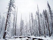 A neve cobriu árvores Imagem de Stock