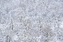 A neve cobriu árvores de pinho Imagens de Stock