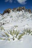 A neve cobriu agaves Fotos de Stock
