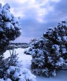 A neve cobriu arbustos do gorse Imagem de Stock