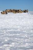 A neve cobriu campos com os carneiros Imagens de Stock Royalty Free