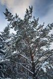 A neve cobriu a filial da árvore de abeto Imagem de Stock