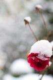 A neve cobriu flores Imagem de Stock