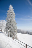 A neve cobriu o abeto Foto de Stock