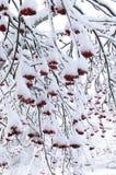 A neve cobriu o rowanberry Fotos de Stock