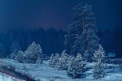 A neve cobriu pinhos Fotografia de Stock