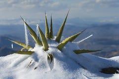 A neve cobriu a planta de século Foto de Stock Royalty Free
