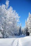 Neve congelata coperta pini Immagini Stock