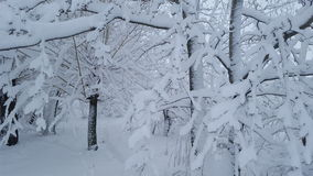 Neve congelata sulla foresta Fotografia Stock Libera da Diritti