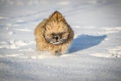Neve corrente del cucciolo di Shi-tzu Fotografia Stock Libera da Diritti