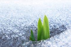 Neve crescente da grama Imagem de Stock Royalty Free