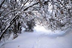 Neve da floresta das coníferas imagem de stock royalty free