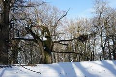 Neve da luz solar da paisagem da floresta do inverno Sombras na neve imagens de stock royalty free