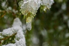 Neve de derretimento congelada nas folhas do pinheiro Fotos de Stock