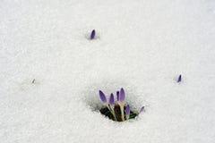 Neve de derretimento do açafrão roxo Imagem de Stock Royalty Free