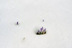 Neve de derretimento do açafrão roxo Fotos de Stock