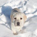 Neve del cane di inverno Immagini Stock Libere da Diritti