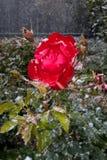 Neve del ghiaccio di Rosa Immagini Stock