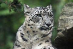 neve del leopardo fotografia stock libera da diritti
