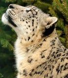 Neve del leopardo Fotografia Stock