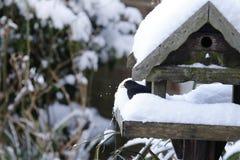 Neve del merlo che rimuove il suo piccolo cuscinetto Fotografie Stock